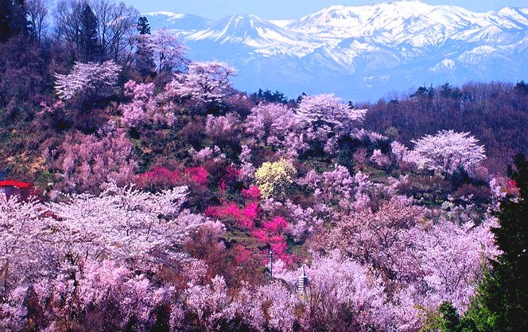 春色♪みちのく桜旅☆