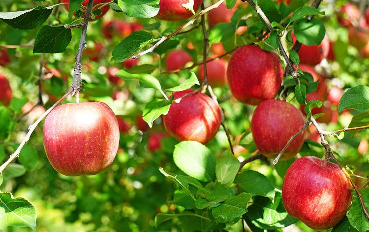りんご狩り食べ放題(イメージ)