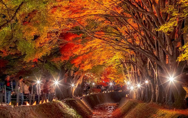 「河口湖もみじ回廊」ライトアップ(イメージ)