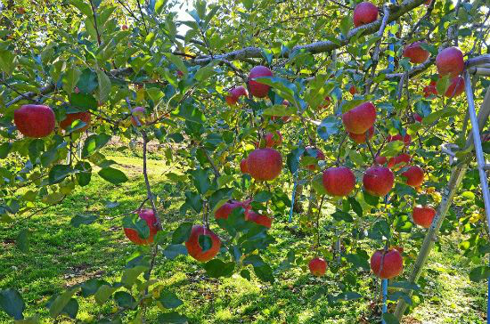 りんご狩り(イメージ)
