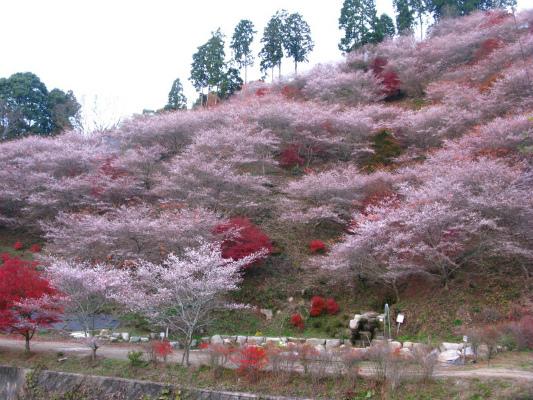 一年に二度咲く小原村・四季桜(イメージ)