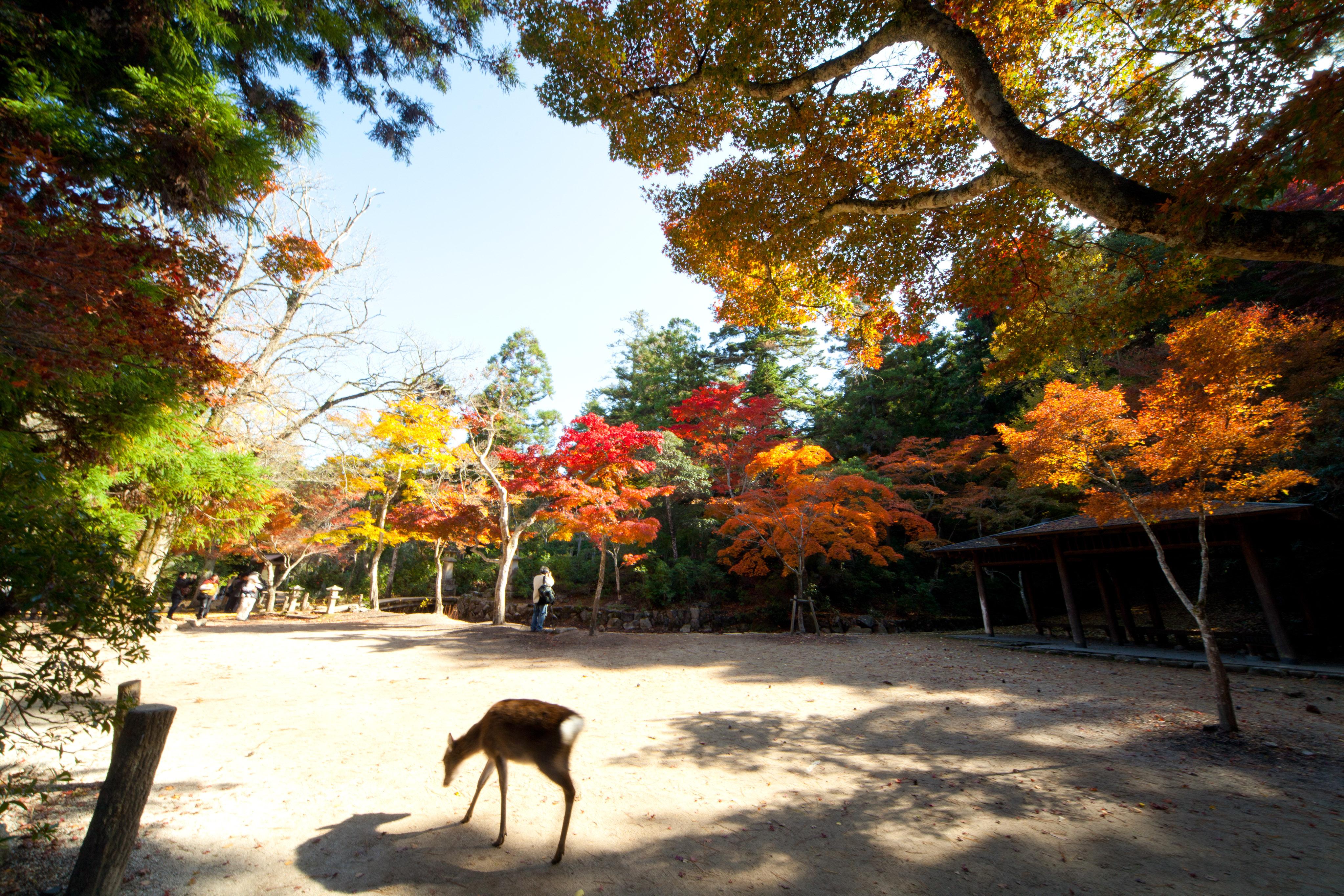 宮島 紅葉谷公園(イメージ)写真提供:広島県